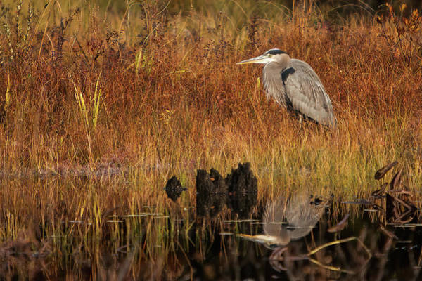 Photograph - Great Blue Heron Reflected In Pond by Jeff Folger