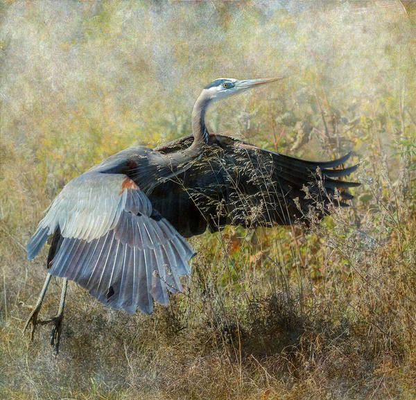Wall Art - Photograph - Great Blue Heron Rising by Angie Vogel
