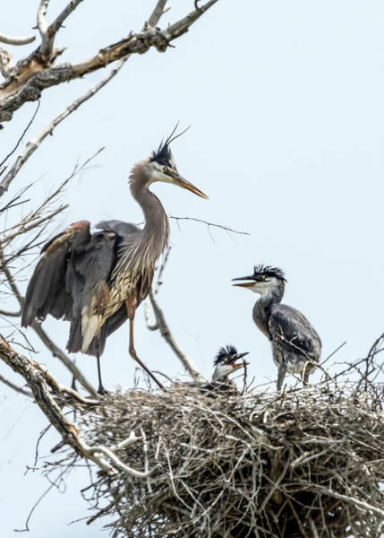 Photograph - Great Blue Heron Rookery 1 by Rick Mosher