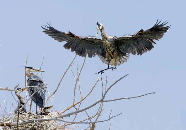 Photograph - Great Blue Heron Rookery 2 by Rick Mosher