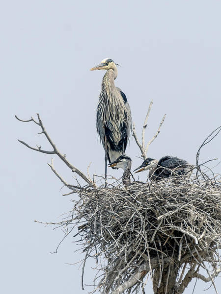 Photograph - Great Blue Heron Rookery 3 by Rick Mosher