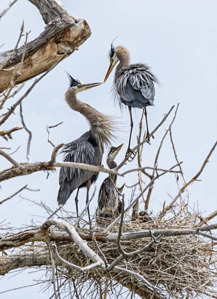 Photograph - Great Blue Heron Rookery 4 by Rick Mosher