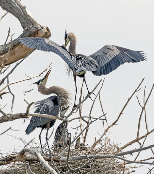 Photograph - Great Blue Heron Rookery 5 by Rick Mosher