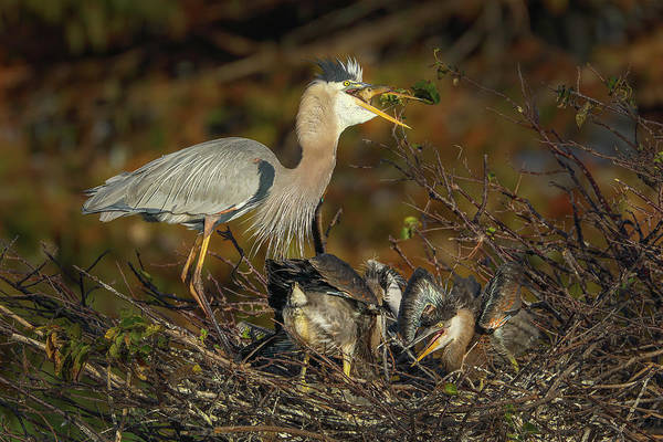 Photograph - Great Blue Heron Serving Breakfast by Juergen Roth
