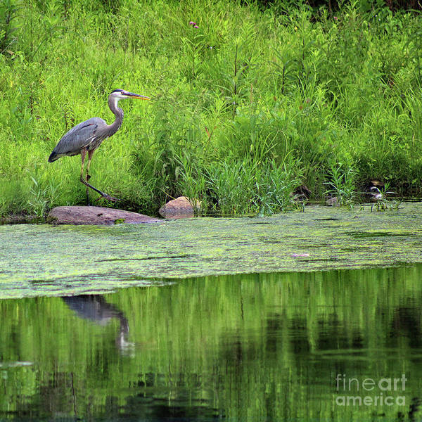 Photograph - Great Blue Heron Square by Karen Adams