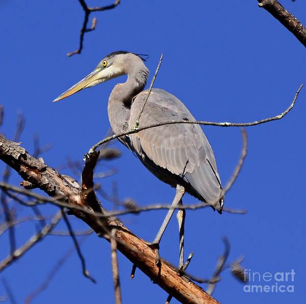 Great Blue Heron Strikes A Pose Art Print