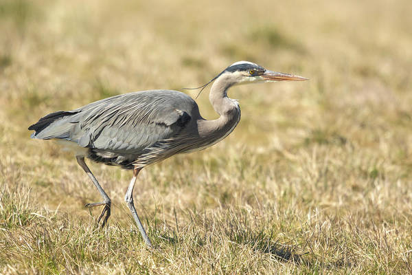 Wall Art - Photograph - Great Blue Heron Stroll by Angie Vogel