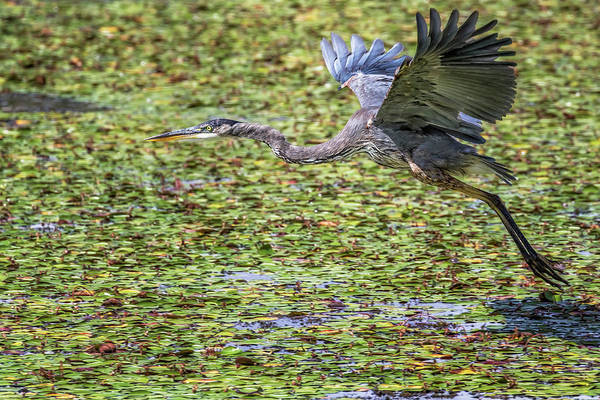 Photograph - Great Blue Heron Taking Flight Over A Lily Pond by Belinda Greb