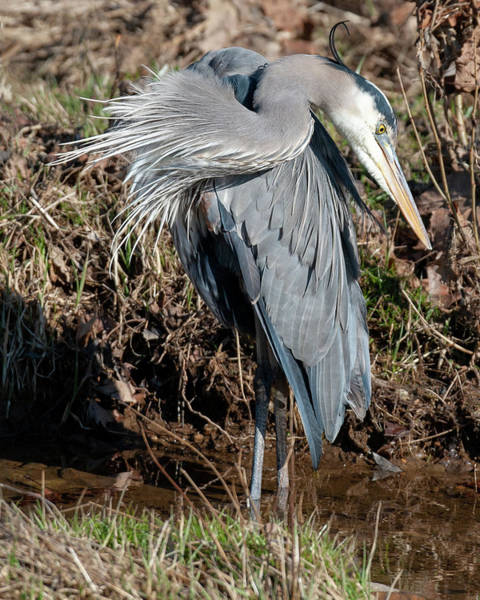 Photograph - Great Blue Heron The Poser by Lara Ellis