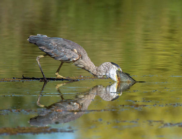 Photograph - Great Blue Heron With Fish 0794-070119 by Tam Ryan