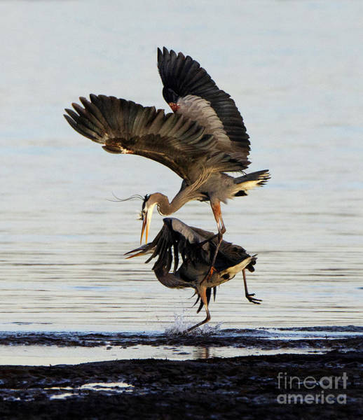 Wall Art - Photograph - Great Blue Herons Territorial Dispute by Bob Christopher
