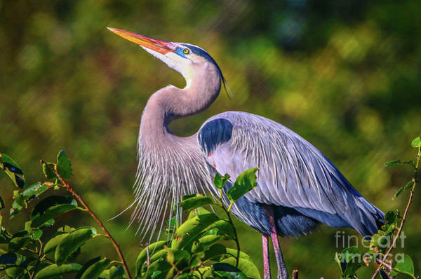 Photograph - Great Blue In Mating Plumage by Tom Claud
