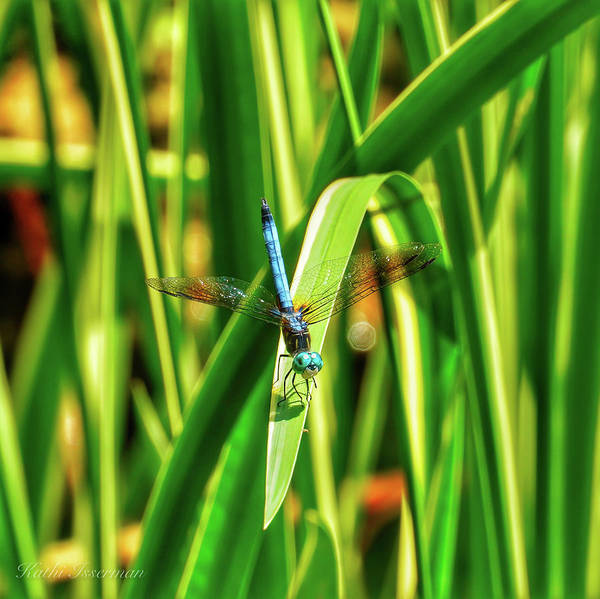 Wall Art - Photograph - Great Blue Skimmer Sunning by Kathi Isserman