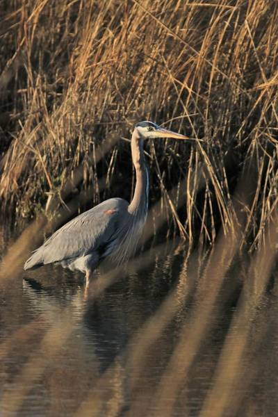 Photograph - Great Blue With Setting Sun by Karen Silvestri
