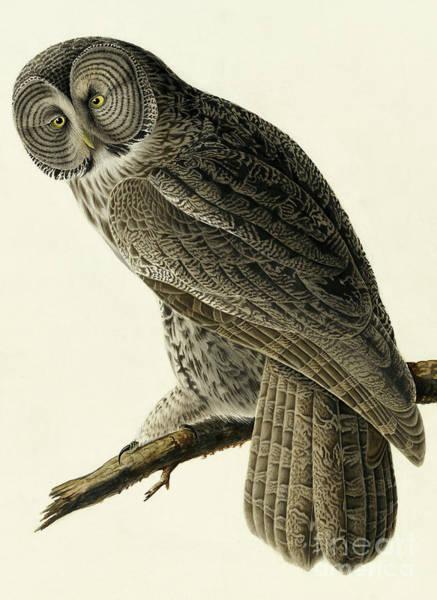Wall Art - Painting - Great Cinereous Owl, Strix Nebulosa By Audubon by John James Audubon