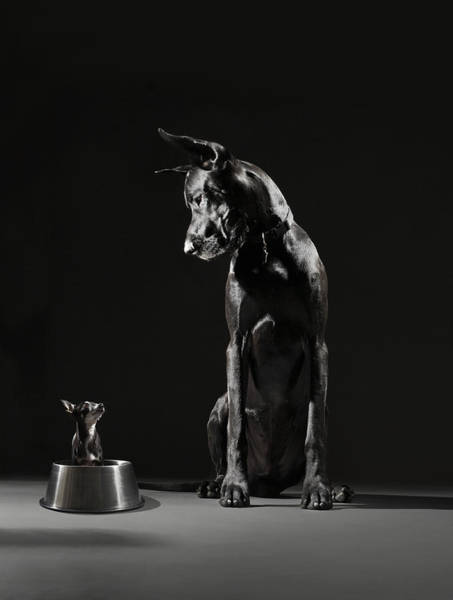 Great Dane Photograph - Great Dane And Chihuahua Staring At One by Lauren Burke