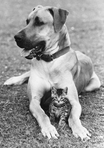Great Dane Photograph - Great Dane And Kitten by John Pratt