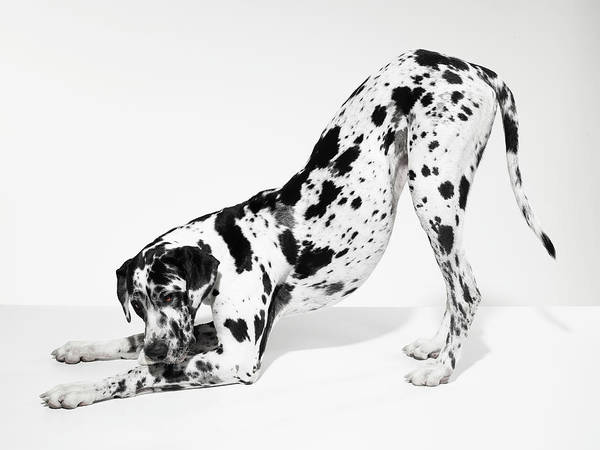 Great Dane Photograph - Great Dane Bending Down by Michael Blann