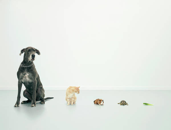 Great Dane Photograph - Great Dane, Cat, Guinea Pig, Tortoise by Oppenheim Bernhard