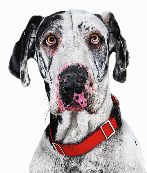 Great Dane Photograph - Great Dane Dog, Close-up by Gandee Vasan
