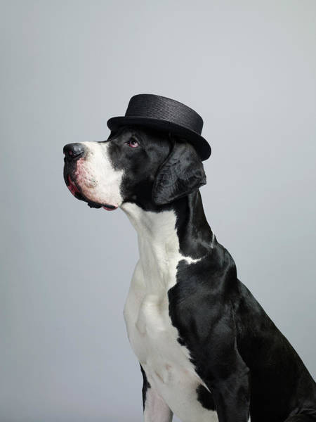 Great Dane Photograph - Great Dane Dog by Dan Burn-forti