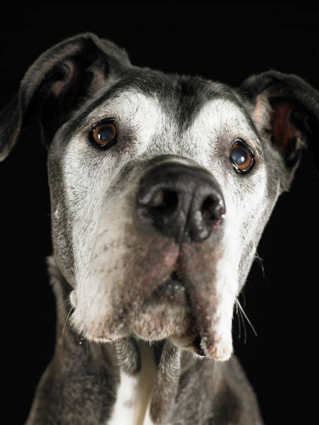 Great Dane Photograph - Great Dane Looking Up, Close-up by Ryan Mcvay
