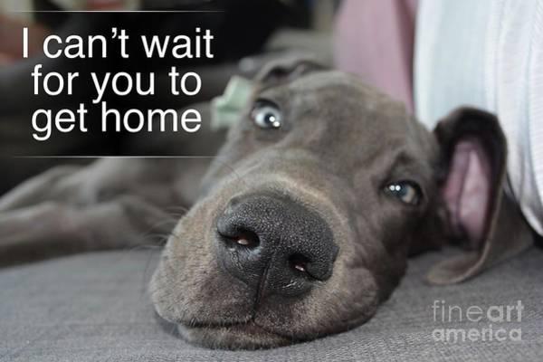 Digital Art - Great Dane-service Dog 1 by Kathy Tarochione