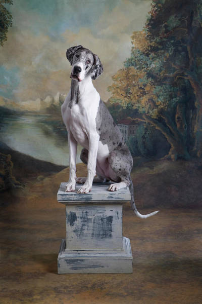 Great Dane Photograph - Great Dane Sitting On Pedestal by Rosanne Olson
