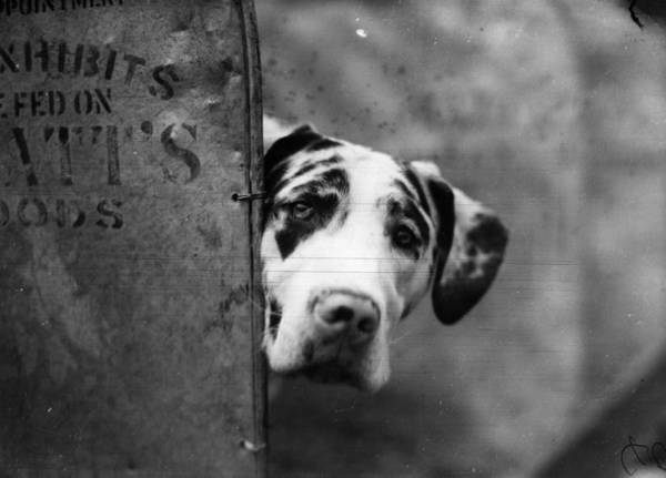 Great Dane Photograph - Great Dane by Topical Press Agency