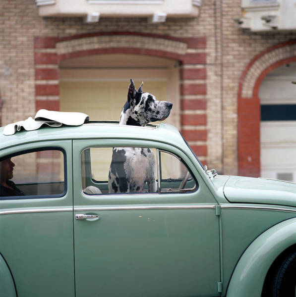 Great Dane Photograph - Great Dane With Head Out Of Sunroof by Gk Hart/vikki Hart