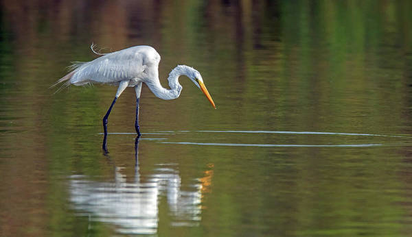 Photograph - Great Egret 0319-062919 by Tam Ryan