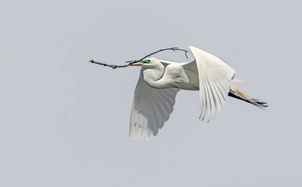 Photograph - Great Egret 1 by Rick Mosher