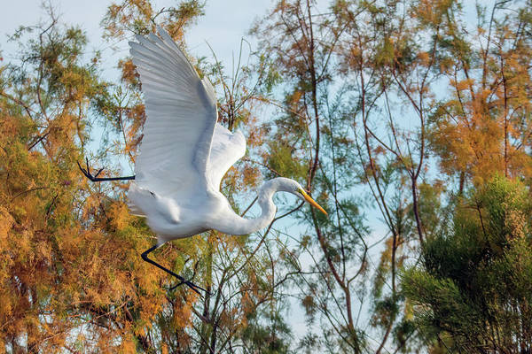 Photograph - Great Egret 1407-011819 by Tam Ryan