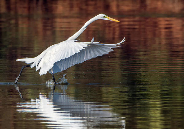 Photograph - Great Egret 1495-111918-1cr by Tam Ryan