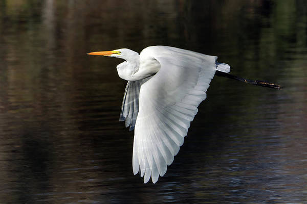 Photograph - Great Egret 1741-011919 by Tam Ryan