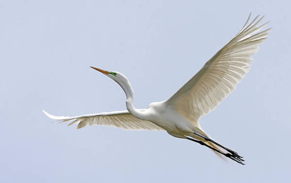 Photograph - Great Egret 2 by Rick Mosher