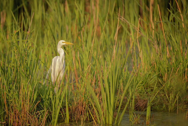 Photograph - Great Egret 2019-1 by Thomas Young