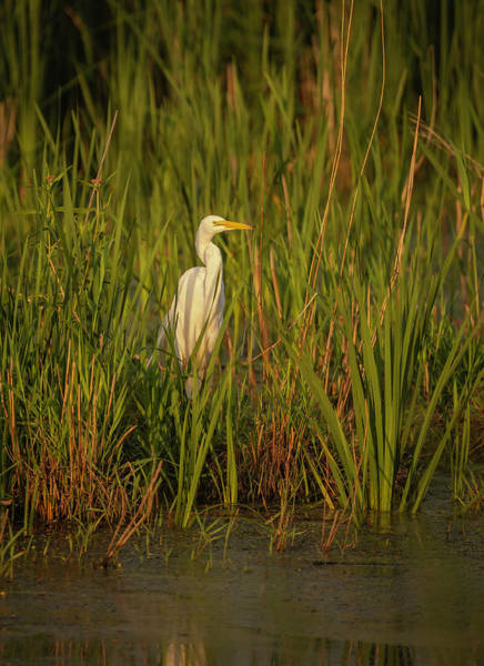 Photograph - Great Egret 2019-2 by Thomas Young