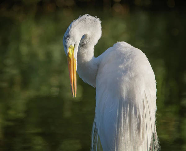 Photograph - Great Egret 2509-071019 by Tam Ryan