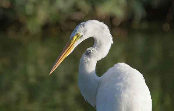 Photograph - Great Egret 2510-071019 by Tam Ryan