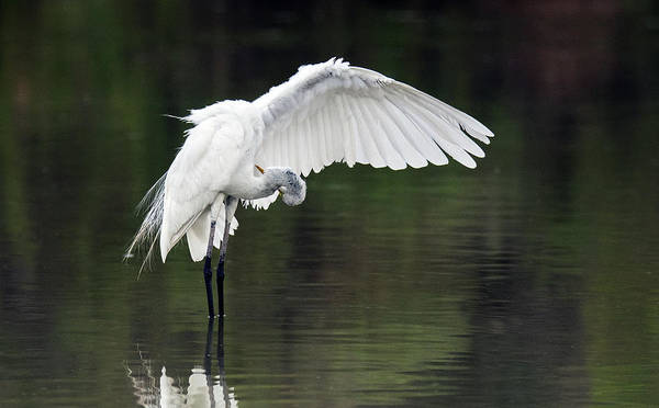 Photograph - Great Egret 2803-071219 by Tam Ryan