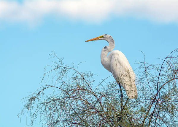 Photograph - Great Egret 2865-071619 by Tam Ryan