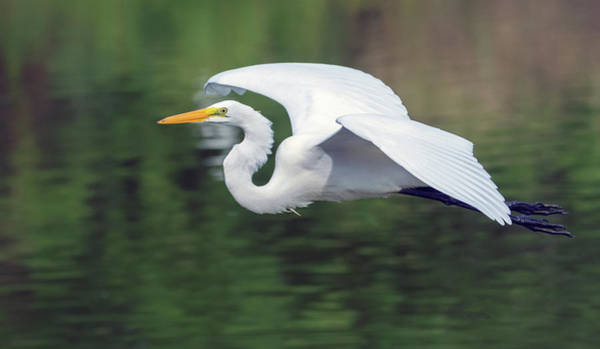 Photograph - Great Egret 4765-080719 by Tam Ryan