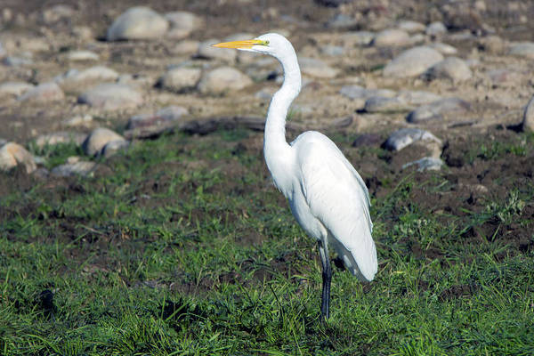 Photograph - Great Egret 5225-022619 by Tam Ryan