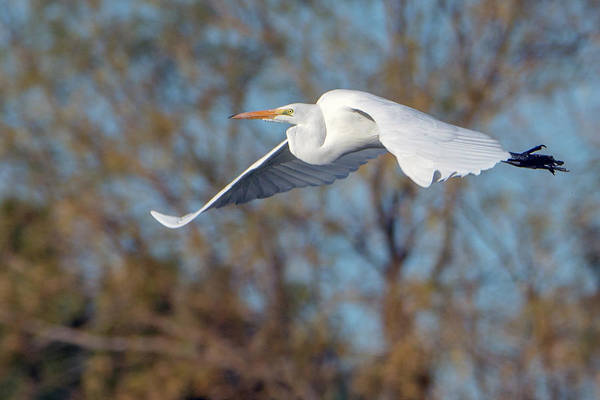 Photograph - Great Egret 7479-122318-1 by Tam Ryan