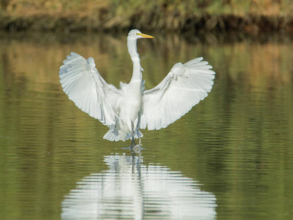 Photograph - Great Egret 7921-110318-1cr by Tam Ryan