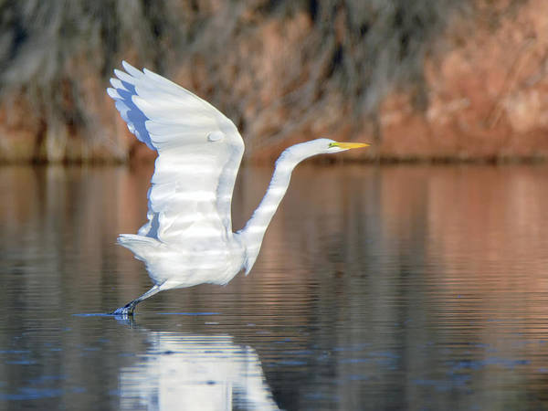 Photograph - Great Egret 9100-111018-2cr by Tam Ryan