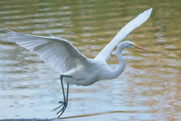 Photograph - Great Egret 9422-123118-1 by Tam Ryan