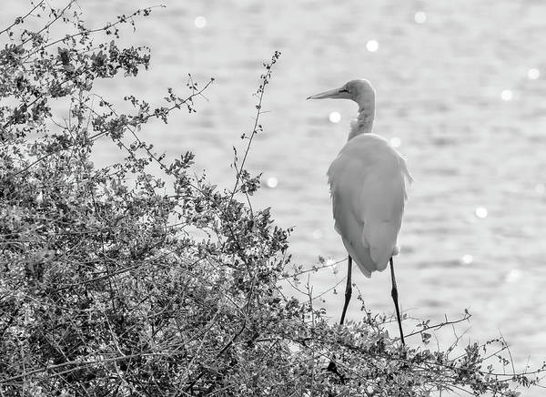 Photograph - Great Egret 9517-123118-2cr-bw by Tam Ryan