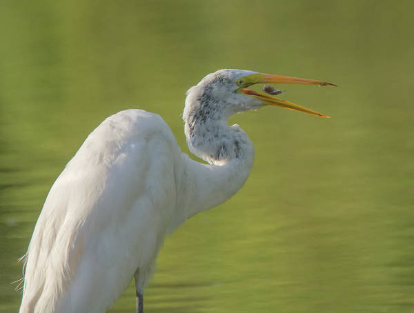 Photograph - Great Egret And Fish 5960-081119 by Tam Ryan